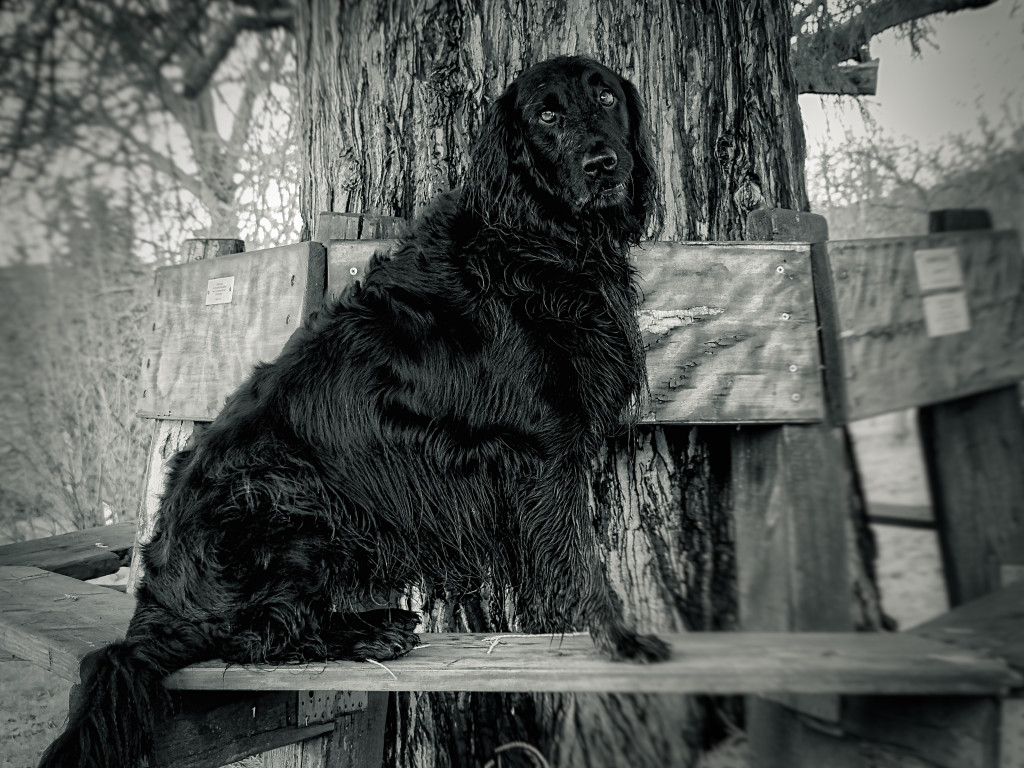 Flat-Coated Retriever Dog-Photography