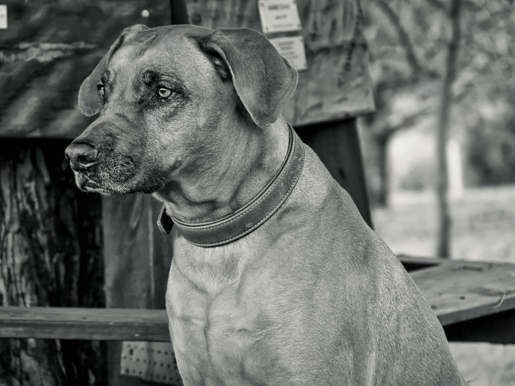 Ridgeback Dog-Photography